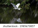 Great Egret Flying Across A...