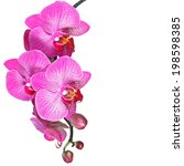Pink Streaked Orchid Flower Isolated - Fine Art prints