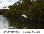 Perched Great White Egret Ardea ...