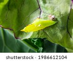 Cabbage White Butterfly Pupa On ...