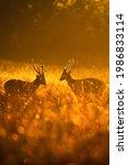 Males Hog Deer Fighting For...