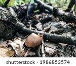 Mushroom In The Woods. Rain...