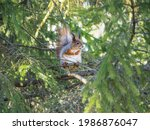 A Gray Red Squirrel Sits On A...