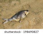 Dead Fish On The Beach  Closeu...