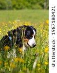 A Bernerse Mountain Dog ...
