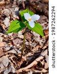 White Trillium Flower Emerging...