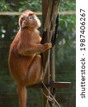 Portrait Of Lutung Budeng  Java ...