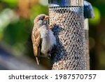 Female House Sparrow Feeding...