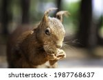 Squirrel Eating Nuts In Forest  ...