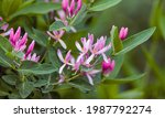 A Wild Honeysuckle In Bloom