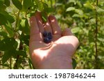 Human Hand Picking Blue...