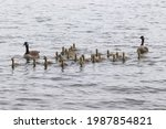 Goose Family Swimming Up To...