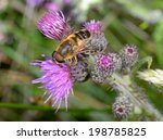 Big Hover Fly  Dronefly
