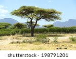African Tree In A Shroud In...