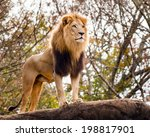 Male Lion Looking Out Atop...