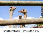 Ostrich Farm. Ostriches On An...