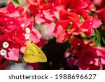"""Yellow Butterfly """"phoebis..."""