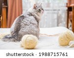 A Fluffy Fat Gray Cat Plays...