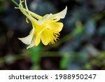 Closeup Of A Yellow Columbine...