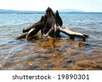 Old Tree Root On A Lake