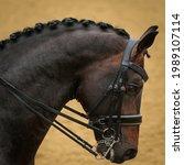 Bay Warmblood Dressage Horse...