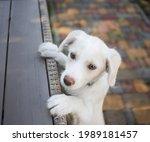 Cute Lovable White Retriever...
