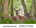 The Red Deer Cervus Elaphus...