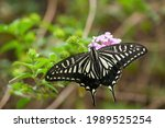 Swallowtail Butterfly  Agehacho ...