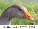 Portrait Of A Goose Against A...