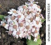 Small photo of Macro photo daisy flower. Stock photo nature flowers daisy flowers