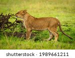 Lion Cub Stands Nibbling Branch ...