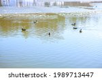 Wild Ducks Swimming On The...