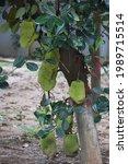 jackfruit in the tree garden    Shutterstock . vector #1989715514