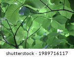green leaf in tree garden    Shutterstock . vector #1989716117