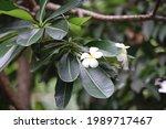 white flower in garden tree    Shutterstock . vector #1989717467