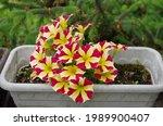 Petunia Flower In Flower Pot....