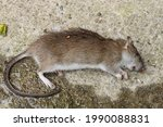 Dead Field Mouse Latin Name...