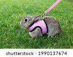 Little Rabbit With Pet Harnes...