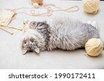 Fluffy Fat Cute Gray Cat Plays...