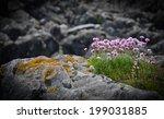 Purple Sea Thrift Flowers...