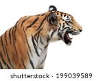 Bengal Tiger Isolated On White