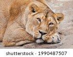 Calm Confidence Of A Lioness ...