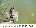 Great Blue Heron  Ardea Cinerea ...