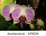 orchid | Shutterstock . vector #199054