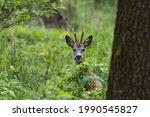 A Male Deer Capreolus Capreolus ...