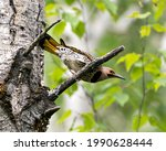 Small photo of Northern Flicker male bird close-up view perched on a branch in its environment and habitat surrounding during bird season mating with blur green background. Image. Picture. Portrait. Photo.