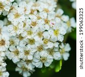 Small photo of A macro shot of some spiraea blossom.