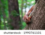 Red Squirrel On Tree In Public...