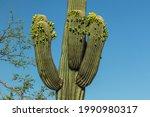 A Saguaro Cactus With Unusual...