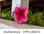 Petunia In The Garden Petunia...